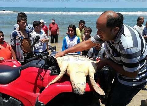 بالصور| إعادة سلحفتين بحريتين إلى مياه البحر بمصيف بلطيم