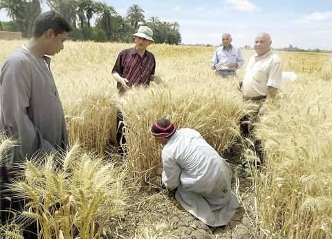 «برغش»: الحكومة مجبرة على شراء القمح من الفلاحين لرداءة المستورد