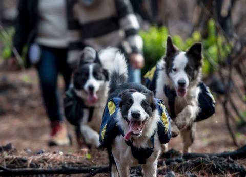 3 كلاب يزرعون غابات تشيلي المحترقة لعودة الحياة بها من جديد