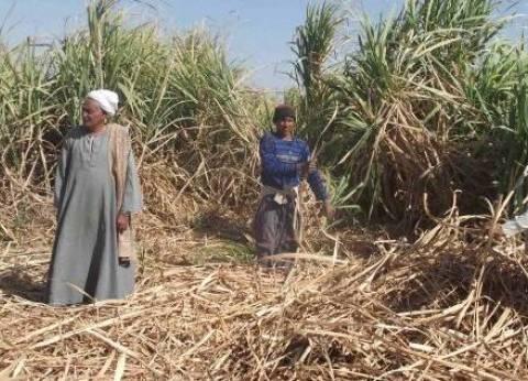 نائب جمعية منتجي القصب: 600 ألف فدان من قصب السكر يتم زراعتها في مصر