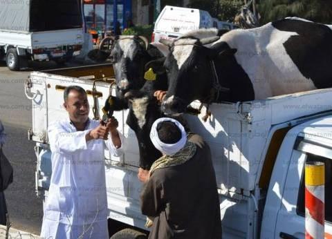 محافظ الدقهلية: تحصين 267 ألف رأس ماشية وأغنام ضد الحمى القلاعية