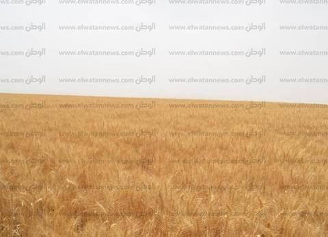 شون بني سويف تبدأ استلام القمح من المزارعين