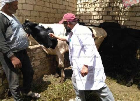 """""""الطب البيطري"""" بمطروح:حصنا أكثر من 90 ألف رأس ماشية ضد الحمى القلاعية"""