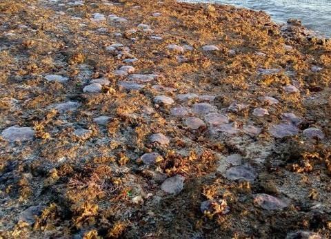 بالصور| نفوق أعداد كبيرة من قناديل البحر على شواطئ جنوب سيناء