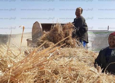 """""""زراعة المنوفية"""": حصاد 50 ألف فدان قمح بمختلف مراكز المحافظة"""