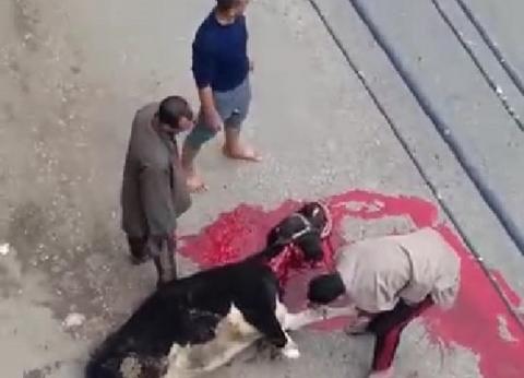 مواطنون بالمنوفية يذبحون عجلا احتفالا بالإقبال الكبير على الاستفتاء