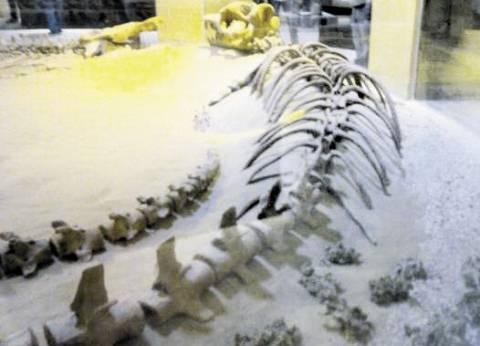 مصر تستخرج أكبر هيكل لحوت: عاش منذ 42 مليون سنة