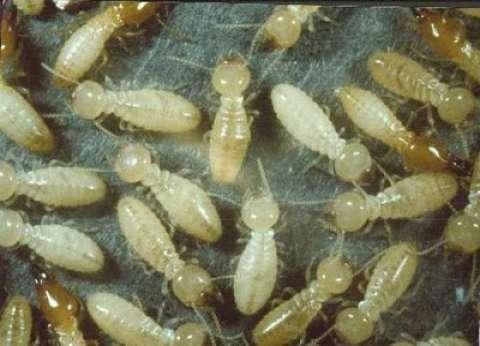 """""""الزراعة"""": النمل الأبيض تسبب في سقوط بعض المنازل بالأقصر وأسوان"""