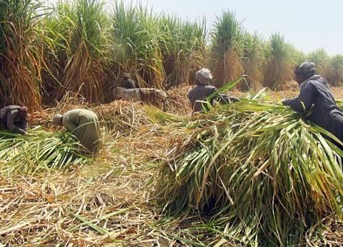 مزارعو القصب يجددون مطالبهم برفع سعر الطن إلى 1000 جنيه