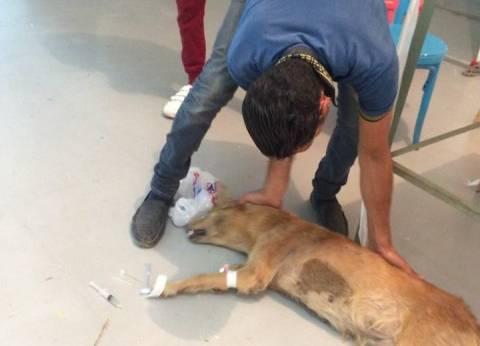 فى أزمة الكلاب الضالة: تتعقم وبرضه تتقتل وتتسمم