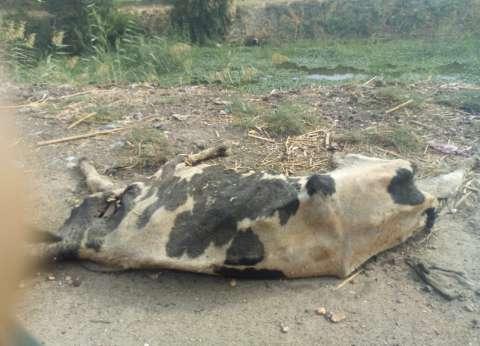 «بيطري الغربية» تحصن 101 ألف رأس ماشية ضد «الحمى»