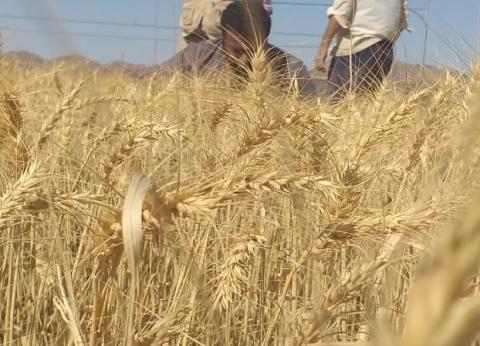 بدء موسم توريد محصول القمح في بني سويف