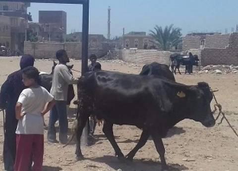"""""""الطب البيطري"""": تحصين نحو 66 ألف رأس ماشية ضد """"الجلد العقدي"""" بالمنيا"""