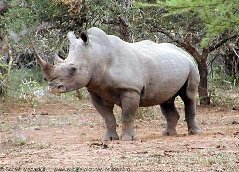جنوب إفريقيا تطرد دبلوماسي من كوريا الشمالية للإتجار في قرون وحيد القرن