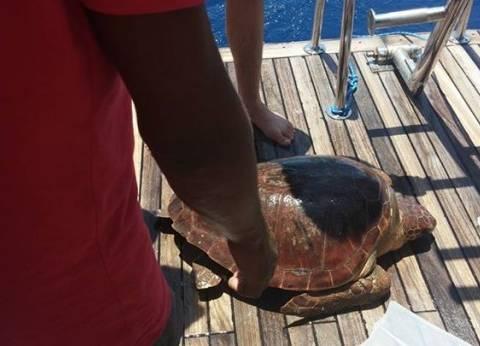 بالصور| محميات البحر الاحمر تعيد سلحفاة نادرة إلى بيئتها