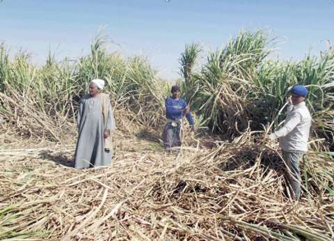 5 أشهر من «التكدس المرورى» فى «كوم أمبو» بسبب «حصاد القصب»