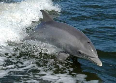"""البيئة: تغريم المركب """"شاكيرا"""" 5 آلاف جنيه لمطاردة الدلافين في الغردقة"""