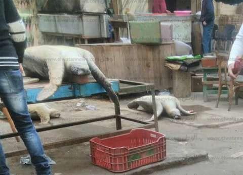 بالصور| بيع 4 سلاحف بحرية بالمنشية في الإسكندرية.. وفريق ينقذها قبل الذبح