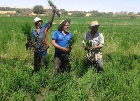 غضب بين مزارعى الوادى الجديد بسبب حظر زراعة الأرز