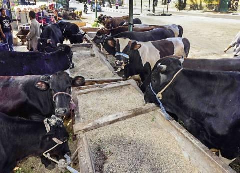 """""""الإحصاء"""": تحصين 11.6 مليون من الماشية ضد الحمى القلاعية في 2017"""