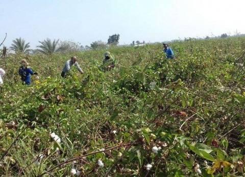 """""""زراعة كفر الشيخ"""" تنظم ندوات عن محصول القمح وتسويق القطن"""