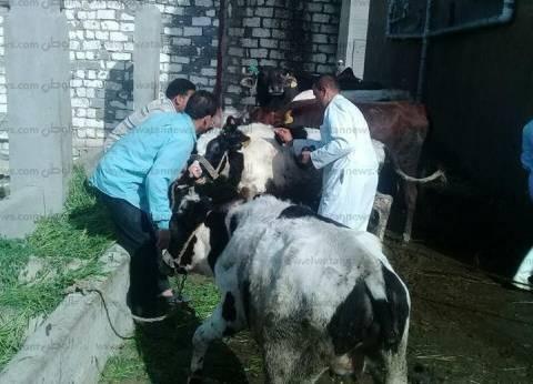 """""""الزراعة"""": تحصين مليون و115 ألف رأس ماشية ضد الحمى القلاعية"""