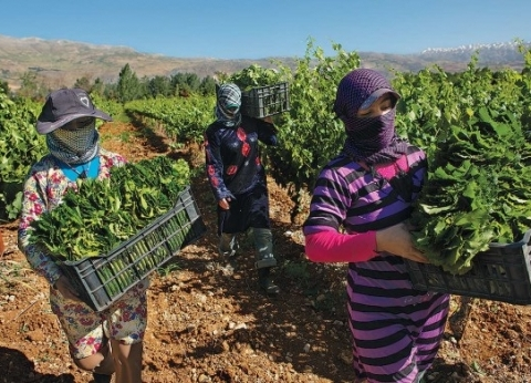 سوريا تعاني من ضعف المحاصيل الزراعية بسبب المناخ