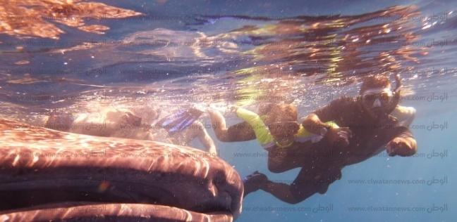 القرش الحوتى مع السائحين في الغردقة