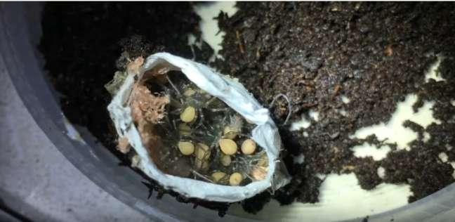 بالفيديو| لحظة خروج عشرات العناكب السامة من الشرنقة