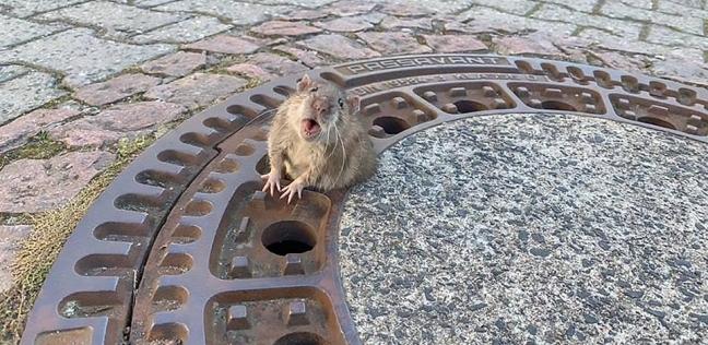 الفأر المحشور