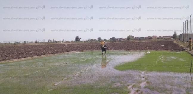 علاج 255 ألف فدان أرز بكفر الشيخ من الآفات والحشائش والتبقع البني