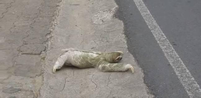 """حيوان """"الكسلان"""" يصيب مارة بالشلل أثناء انتظاره وهو يعبر الطريق"""