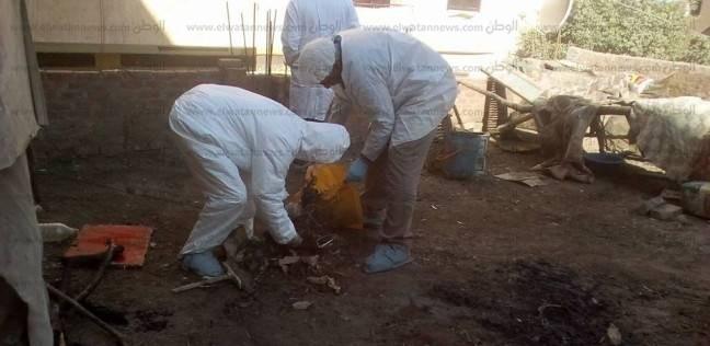 """اكتشاف دواجن مصابة بـ""""إنفلونزا الطيور"""" في مركز الشهداء بالمنوفية"""