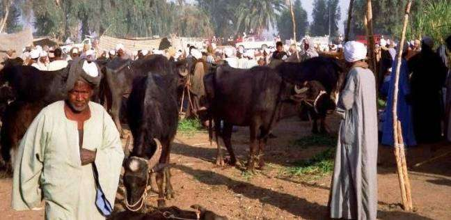 ارتباك فى سوق الماشية بسبب «الجلد العقدى»
