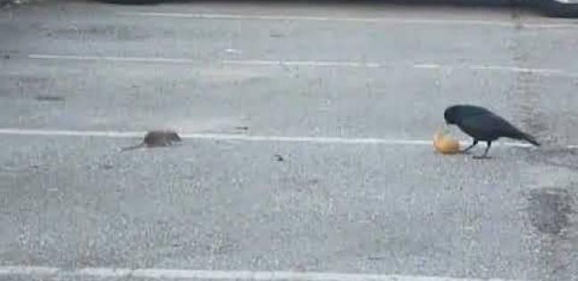 بالفيديو| رد فعل غير متوقع من غراب تجاه فأر حاول سرقة طعامه