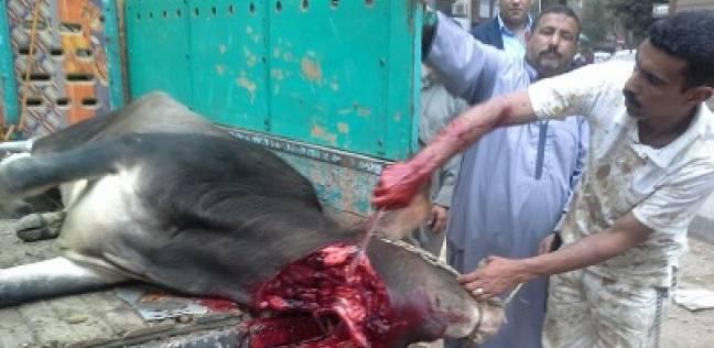 «زينب» تذبح «عِجْلاً» أمام اللجنة ابتهاجاً بنجاح الانتخابات