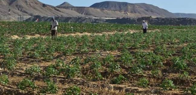 محافظ البحر الأحمر يتابع إنتاج محاصيل مزرعة وادي القويم في القصير