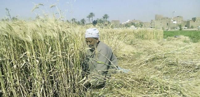 """توزيع 1050 طن تقاوي """"قمح وفول"""" على مزارعي كفر الشيخ"""