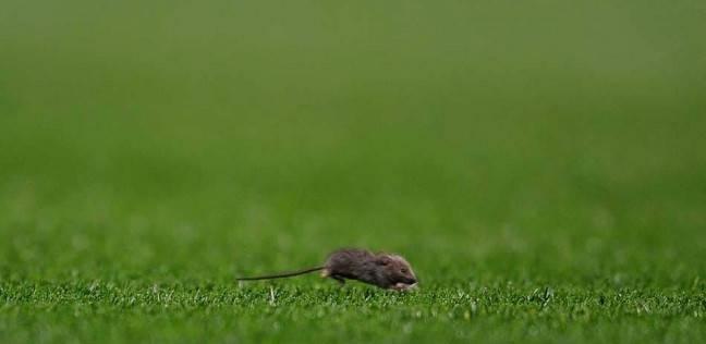 حملة عسكرية للتخلص من 200 ألف فأر في نيوزيلندا
