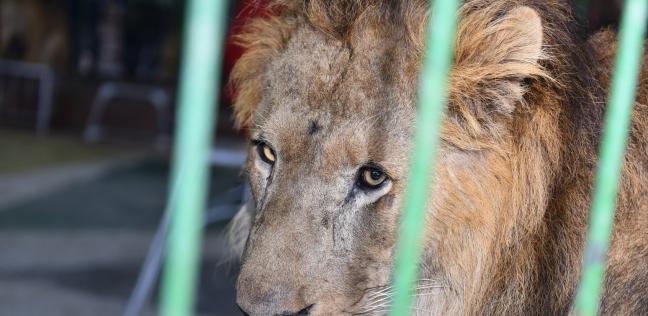 استغاثة لإنقاذ الحيوانات في قرية الأسد