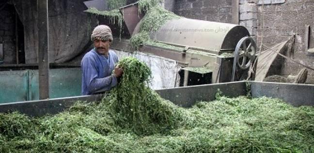 أهل «بدهل» عشاق النباتات الطبية والعطرية «زراعة وتجفيف وتصدير»