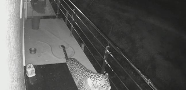 بالفيديو  نمر يفترس كلبا بطريقة مروعة داخل أحد المنازل