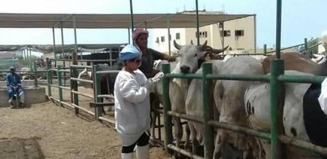 تحصين 1391 عجلا سودانيا ضد الأمراض الوبائية استعدادا لذبحها