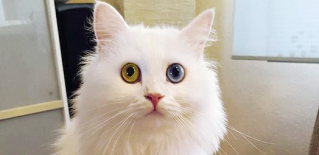 «مينى» الفائزة بلقب ملكة جمال قطط ألمانيا