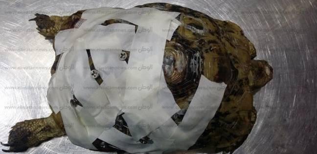 فريق إسكندرية ينقذ صدفة سلحفاه مكسورة