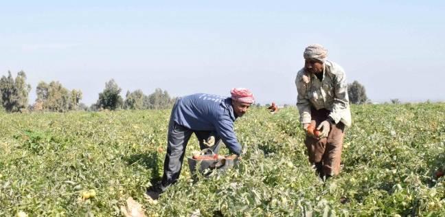 """""""زراعة المنيا"""": زراعة ألف و274 فدانا من محصول القطن بالمحافظة"""