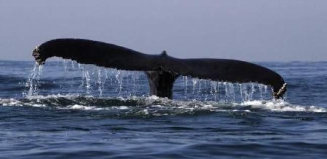 """""""صحيفة بريطانية"""": روسيا جندت الحيتان لصد الغزوات البحرية"""