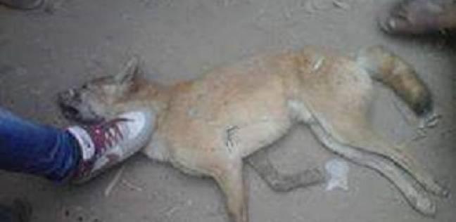رئيس مباحث يقتل كلبا مسعورا عقر 9 أشخاص بالمنيا