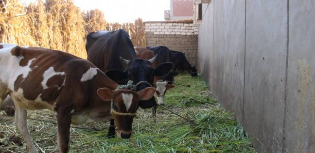 """""""بيطري الفيوم"""" يحصن 86 ألف رأس ماشية ضد الحمى القلاعية والوادي المتصدع"""