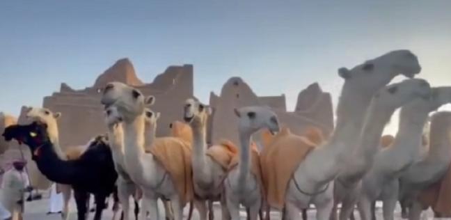 منقية قطامات أغلى الإبل في العالم